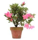 Rhododendron indicum, 25 cm, ± jaar oud, met roze bloemen