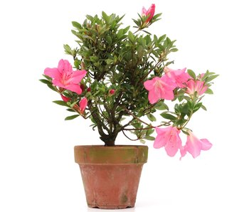 Rhododendron indicum, 25 cm, ± jaar oud
