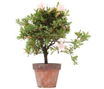 Rhododendron indicum, 29 cm, ± jaar oud