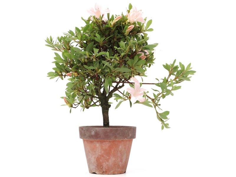 Rhododendron indicum, 29 cm, ± jaar oud, met lichtroze bloemen
