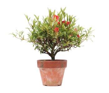 Rhododendron indicum, 21 cm, ± jaar oud