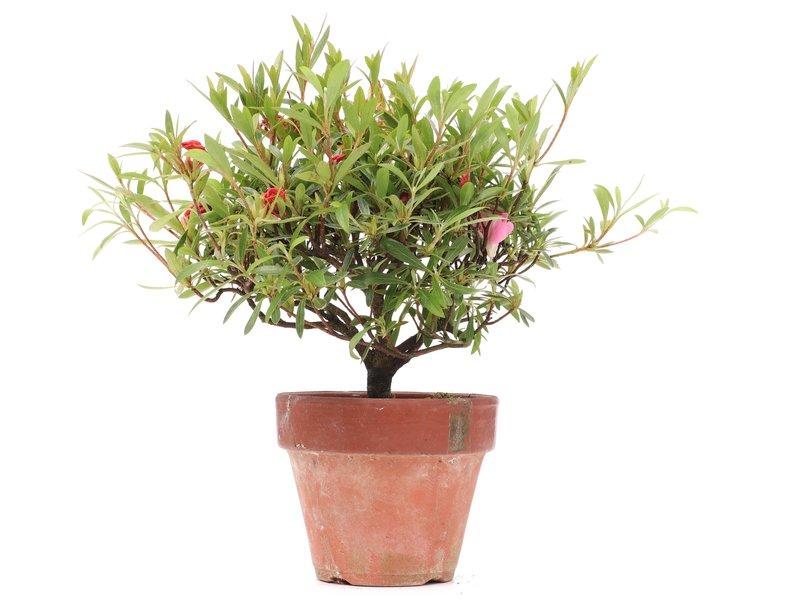Rhododendron indicum, 21 cm, ± jaar oud, met rode bloemen