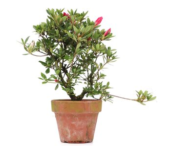 Rhododendron indicum, 24,5 cm, ±  years old