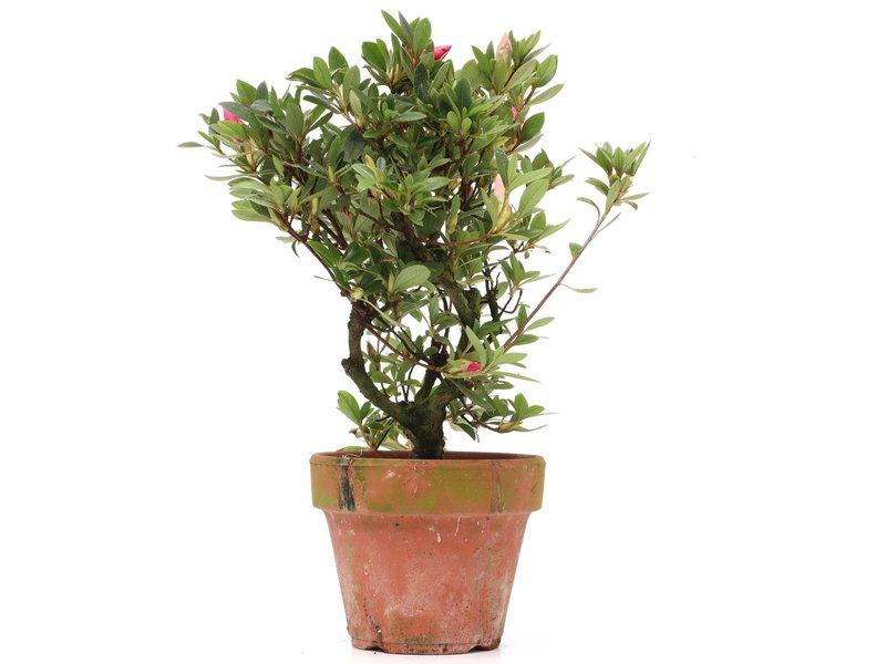 Rhododendron indicum, 24,5 cm, ± jaar oud, met witte en roze bloemen