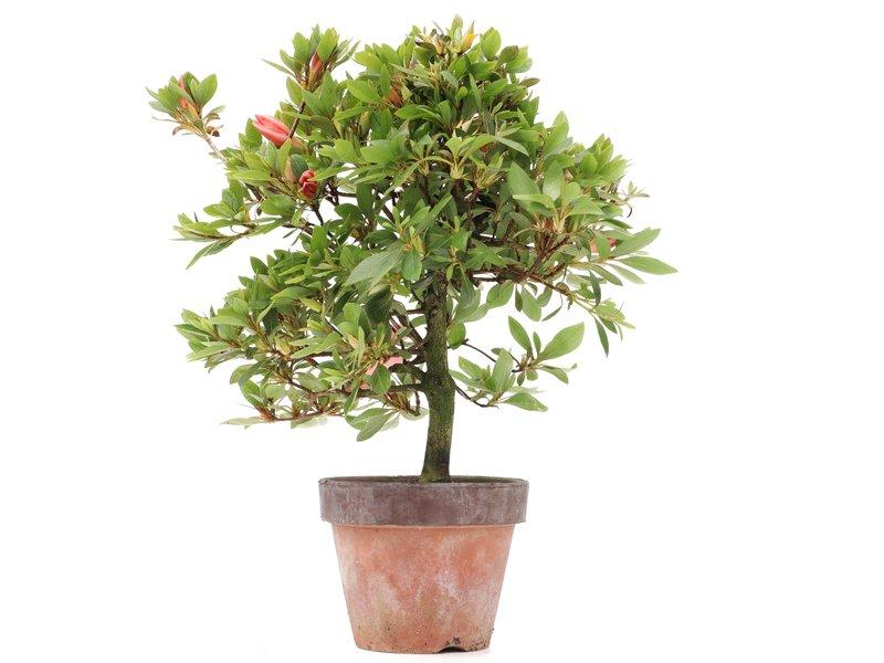Rhododendron indicum, 28 cm, ± jaar oud, met lichtroze bloemen