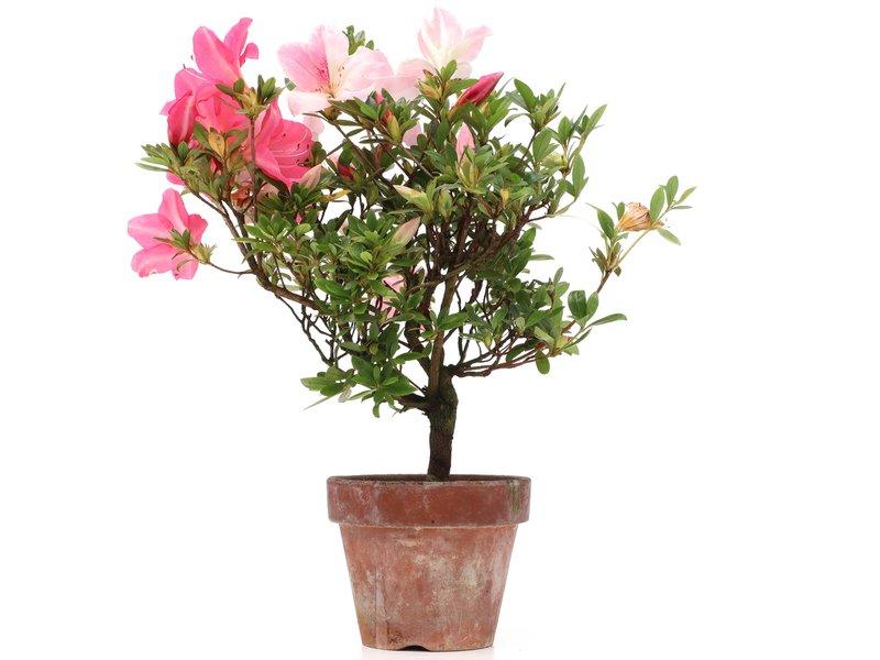 Rhododendron indicum, 32 cm, ± jaar oud, met licht- en donkerroze bloemen