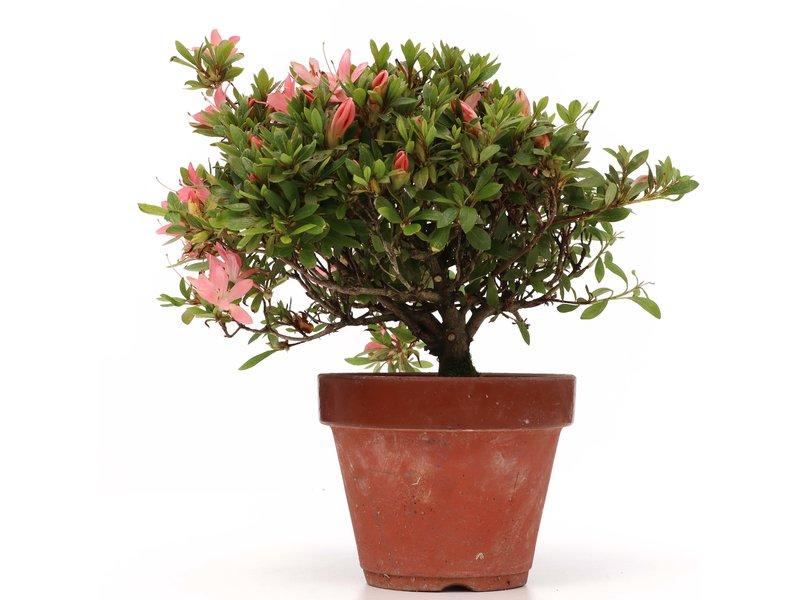 Rhododendron indicum, 20 cm, ± jaar oud, met lichtroze bloemen