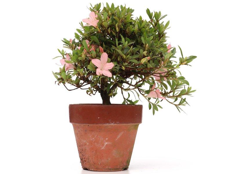 Rhododendron indicum, 22,5 cm, ± jaar oud, met lichtroze bloemen