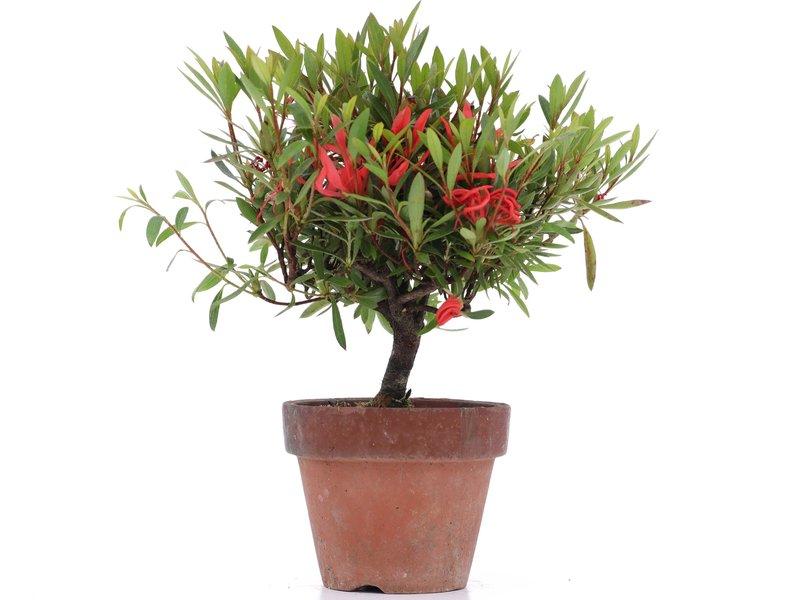 Rhododendron indicum, 18 cm, ± jaar oud, met rode bloemen
