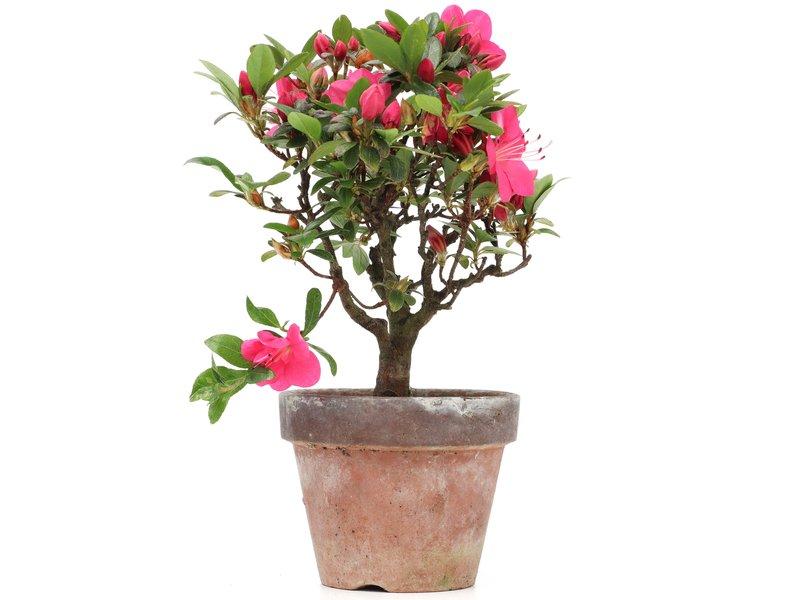 Rhododendron indicum, 21 cm, ± jaar oud, met roze bloemen