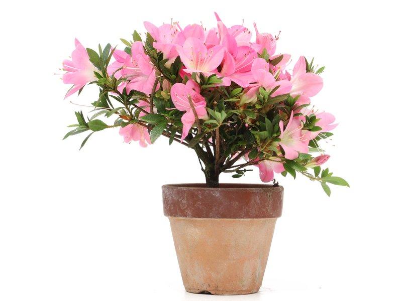 Rhododendron indicum, 17,5 cm, ± jaar oud, met roze veelkleurige bloemen