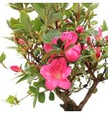 Rhododendron indicum, 34 cm, ± jaar oud, met roze veelkleurige bloemen