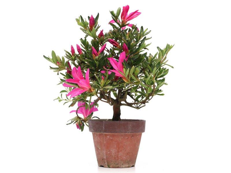 Rhododendron indicum, 26 cm, ± jaar oud, met paarse bloemen