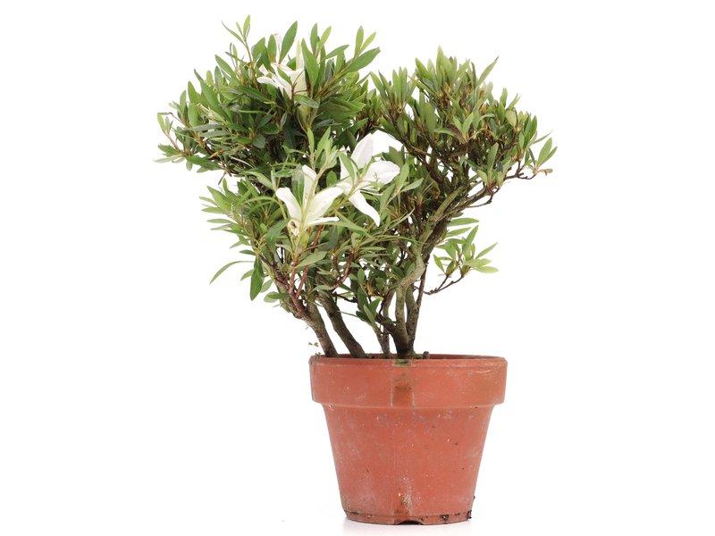 Rhododendron indicum, 21 cm, ± jaar oud, met witte bloemen