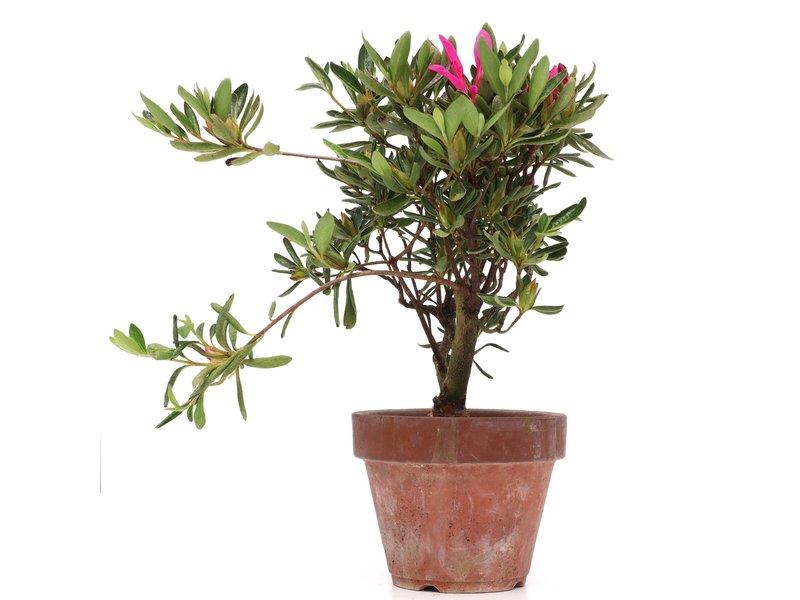 Rhododendron indicum, 24 cm, ± jaar oud, met roze en paarse bloemen