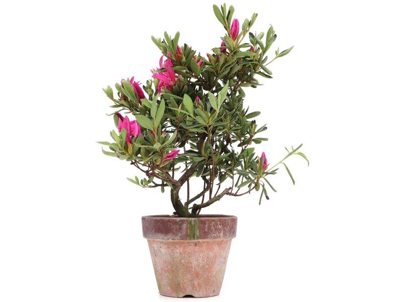 Rhododendron indicum, 30 cm, ± jaar oud, met paarse bloemen