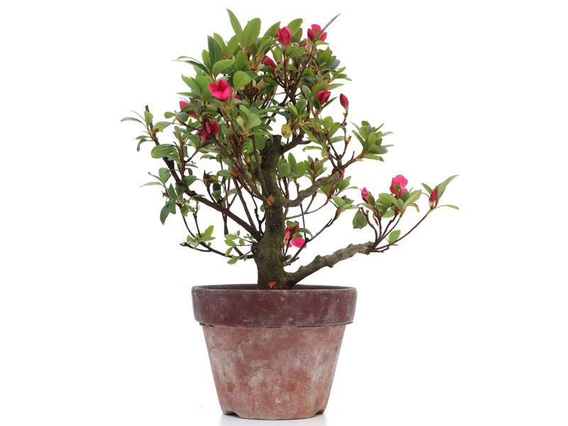 Rhododendron indicum, 23 cm, ± jaar oud, met roze bloemen
