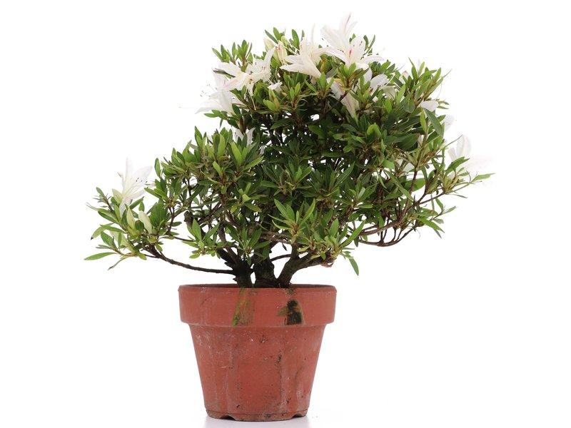 Rhododendron indicum, 22,5 cm, ± jaar oud, met witte bloemen