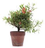 Rhododendron indicum, 20,5 cm, ± jaar oud, met rode bloemen