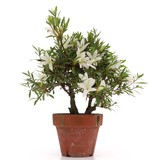 Rhododendron indicum, 24,5 cm, ± jaar oud, met witte bloemen