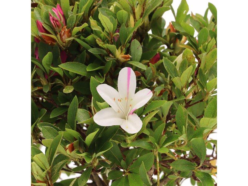Rhododendron indicum, 23 cm, ± jaar oud, met witte en roze veelkleurige bloemen