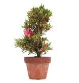Rhododendron indicum, 25,5 cm, ± jaar oud, met roze bloemen