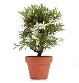 Rhododendron indicum, 23,5 cm, ± jaar oud, met witte bloemen