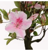 Rhododendron indicum, 26,5 cm, ± jaar oud, met witte en roze veelkleurige bloemen