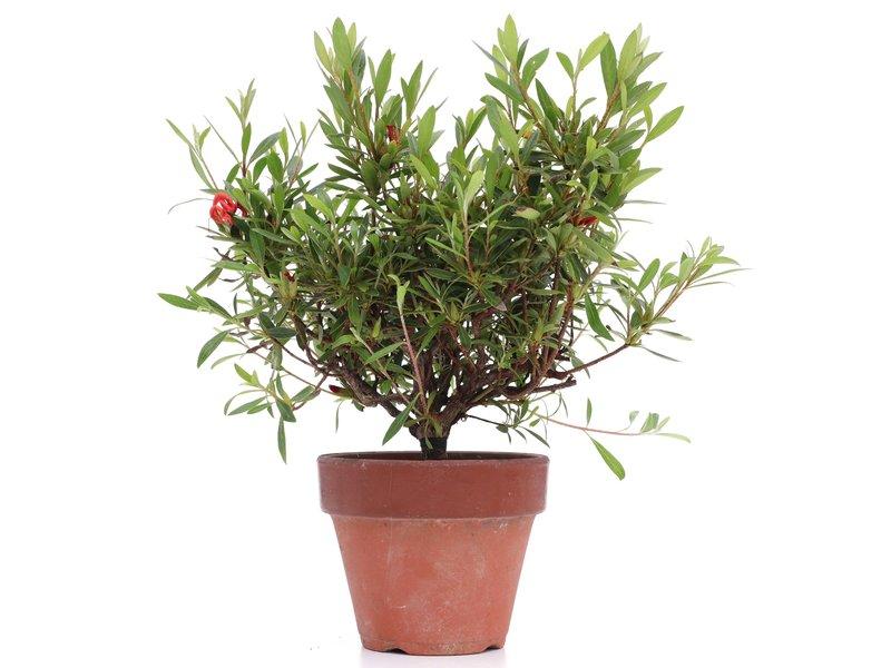 Rhododendron indicum, 23 cm, ± jaar oud, met rode bloemen