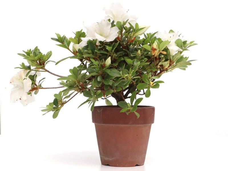 Rhododendron indicum, 19 cm, ± jaar oud, met witte bloemen