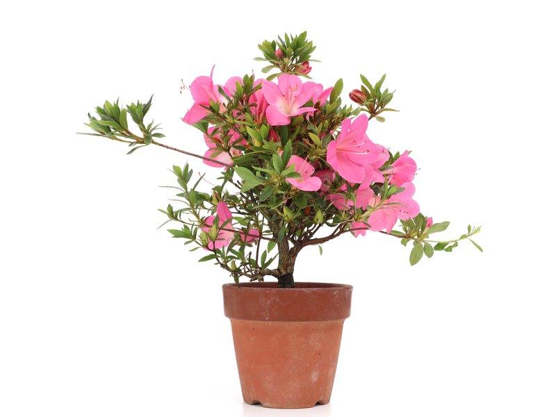 Rhododendron indicum, 27 cm, ± jaar oud, met roze bloemen met een witte kern