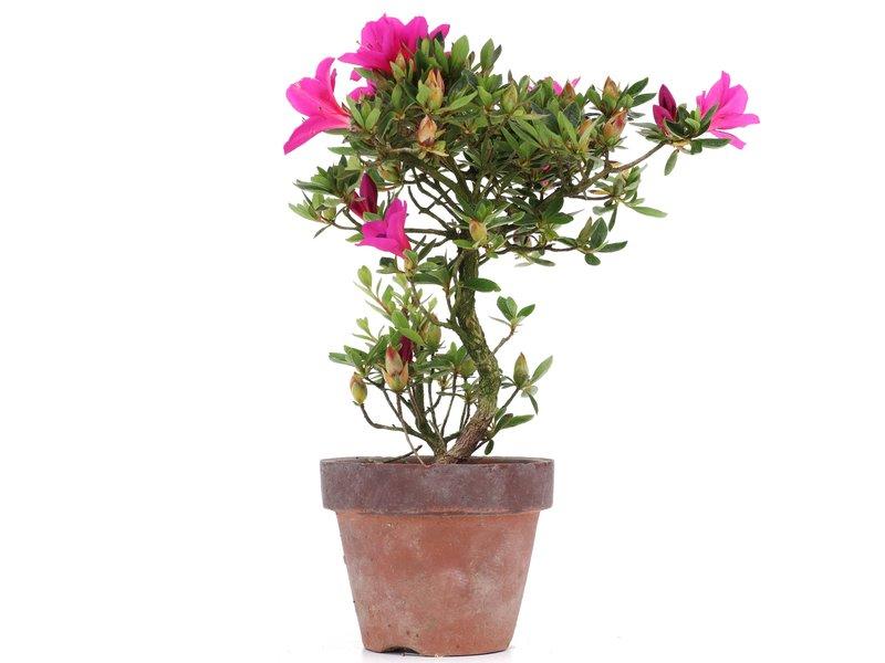 Rhododendron indicum, 21 cm, ± jaar oud, met paarse bloemen