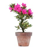 Rhododendron indicum, 19,5 cm, ± jaar oud, met paarse bloemen