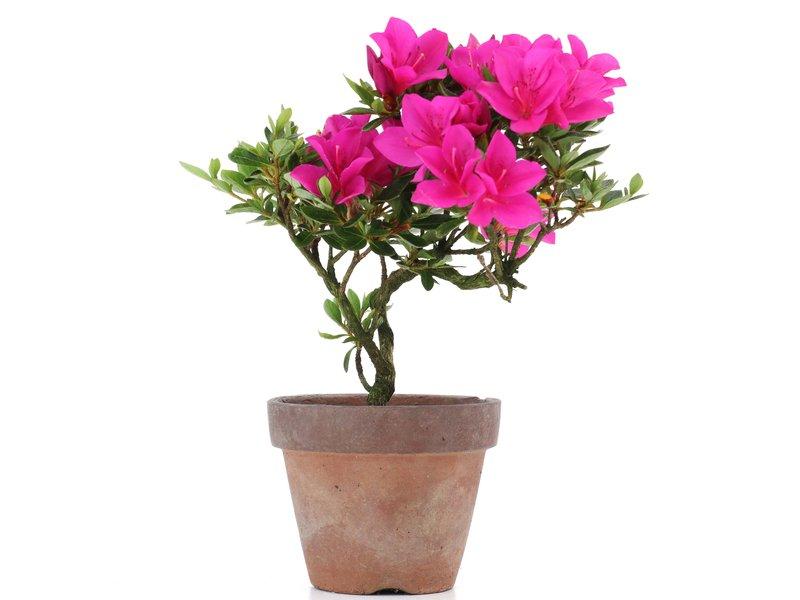 Rhododendron indicum, 18 cm, ± jaar oud, met paarse bloemen