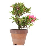 Rhododendron indicum, 16,5 cm, ± jaar oud, met roze bloemen