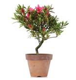Rhododendron indicum, 20 cm, ± jaar oud, met roze bloemen