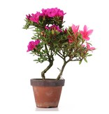 Rhododendron indicum, 21,5 cm, ± jaar oud, met paarse en roze bloemen