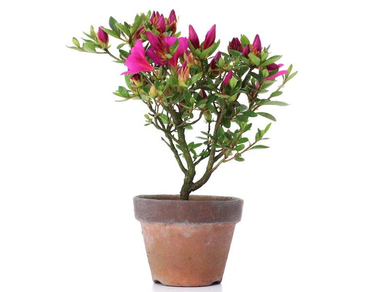 Rhododendron indicum, 18,5 cm, ± jaar oud, met paarse bloemen
