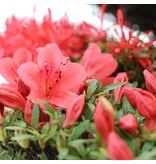 Rhododendron indicum Kinsai, 78 cm, ± 30 jaar oud, met donkerroze bloemen in een handgemaakte Japanse Sanpo pot