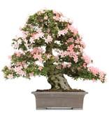 Rhododendron indicum Nikko, 74 cm, ± 40 jaar oud, met licht- en donkerroze bloemen