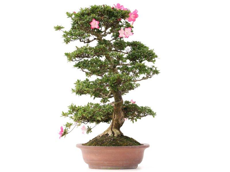 Rhododendron indicum Karen Kou, 73 cm, ± 20 jaar oud, met roze bloemen met een witte kern en een paar littekens in een handgemaakte Japanse Sanpo pot