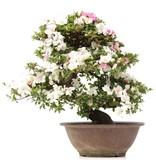 Rhododendron indicum Kaho , 55,5 cm, ± 20 jaar oud, met witte en roze veelkleurige bloemen