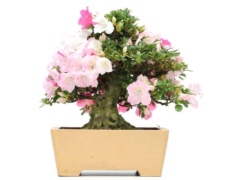 Rhododendron indicum Isyo-No-Haru, 37 cm, ± 35 jaar oud, met witte en roze veelkleurige bloemen