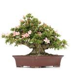 Rhododendron indicum Nikko, 32 cm, ± 40 jaar oud, met licht- en donkerroze bloemen