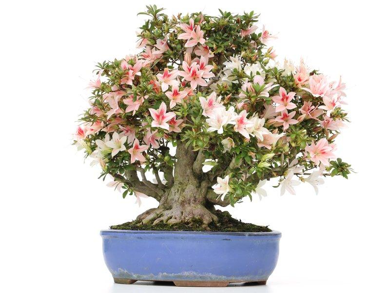 Rhododendron indicum Benituru, 32 cm, ± 35 jaar oud, met witte en roze veelkleurige bloemen