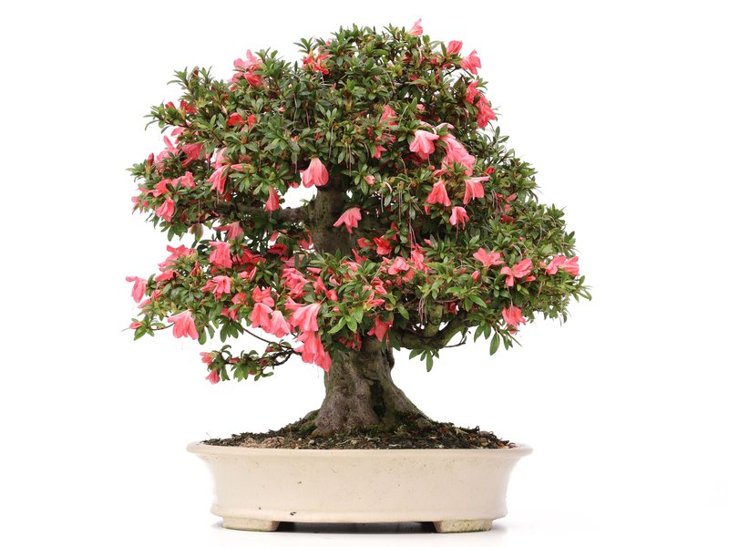 Rhododendron indicum Akane, 44 cm, ± 40 jaar oud, met felroze bloemen