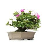 Rhododendron indicum Isyo-No-Haru, 37 cm, ± 40 jaar oud, met witte en paarse veelkleurige bloemen