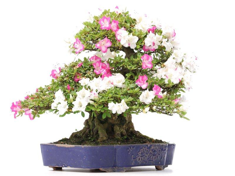 Rhododendron indicum Kagetu, 46 cm, ± 40 jaar oud, met witte en roze veelkleurige bloemen