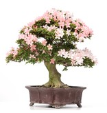 Rhododendron indicum Nikko, 58 cm, ± 40 jaar oud, met licht- en donkerroze bloemen