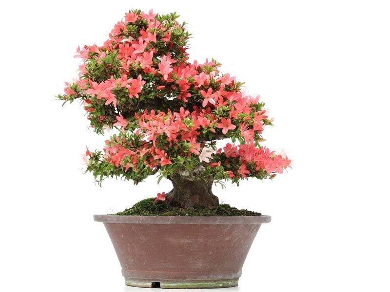 Rhododendron indicum Nusyo-No-Hikari, 47 cm, ± 40 jaar oud, met licht- en donkerroze multicolor bloemen